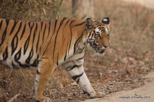 Rajbehera female