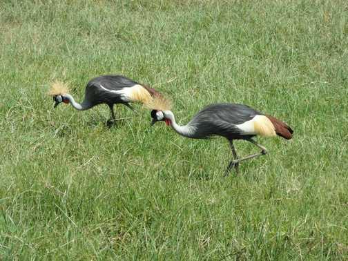 Lake Nakuru .... crested crane