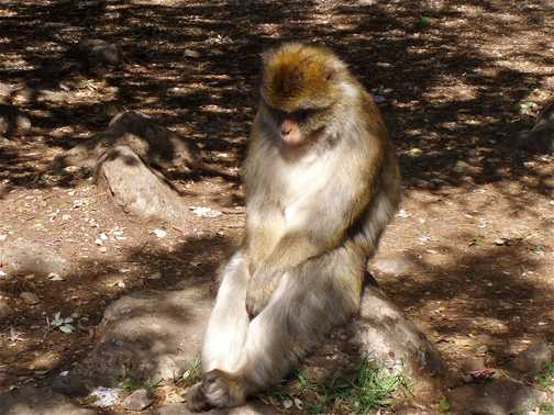 Contemplative Barbary macaque
