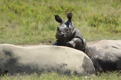 Baby White Rhino, Lake Nakuru
