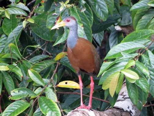 Gray-necked Wood-Rail - Tortuguero