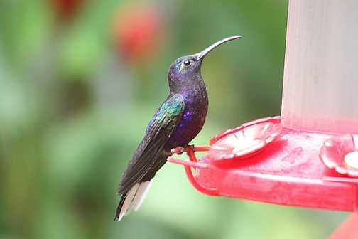 Magnificent hummingbird - Cloud Forest Lodge, Monteverde
