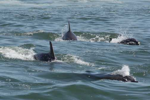 A pod of dolphins having fun