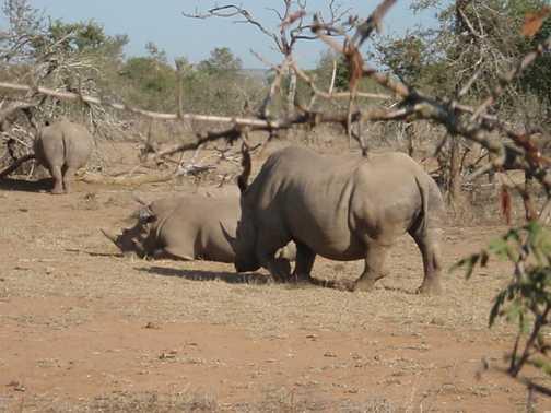 White rhinos - Hlane