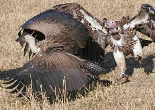 Vultures at war