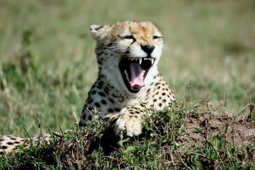 Cheetah yawning - Masai Mara