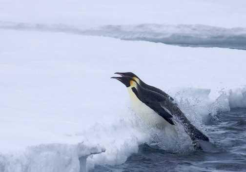 Flying emperor penguins