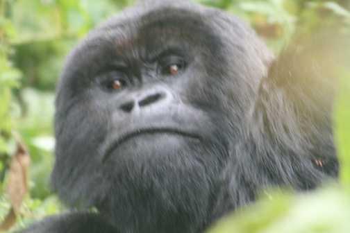 gorilla mummy