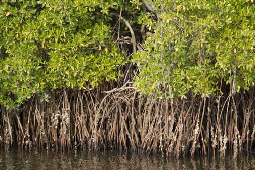 Cattle egrets roosting, Sine-Saloum Delta