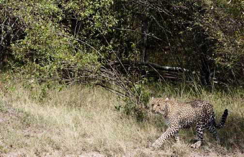 leopard walk