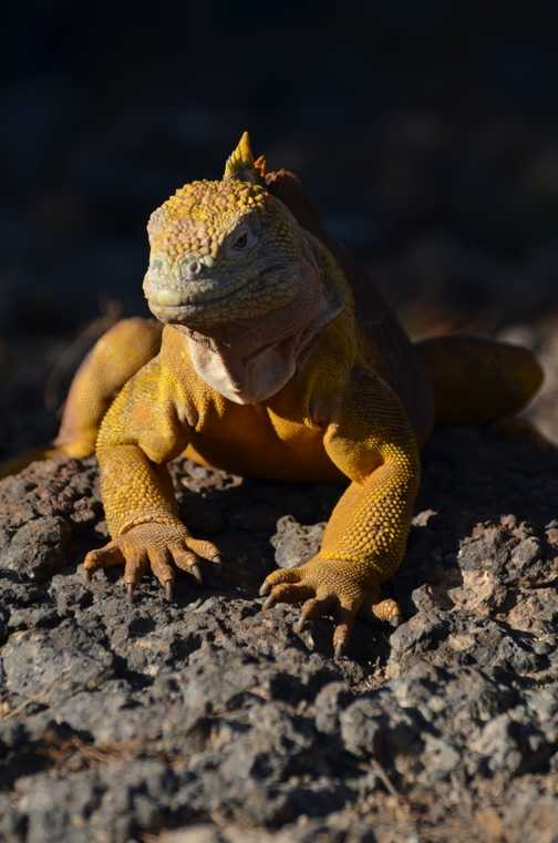 Another land iguana