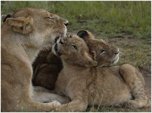 Lions again