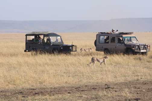 Cheetahs get close the vehicles