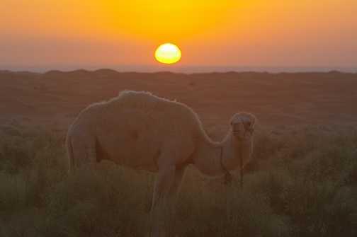 Morning Camel