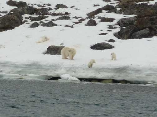 Female polar bear and cubs