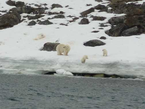 Female polar bear and cubs