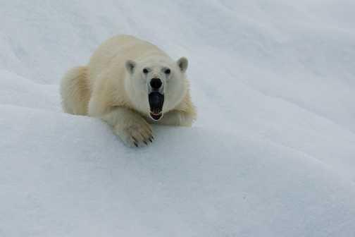 Iceberg Bear Yawning