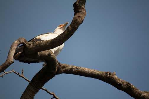 Cormorants (Jinja)