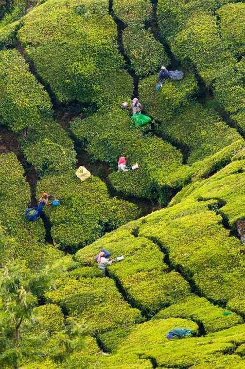 Mountain Tea-clippers