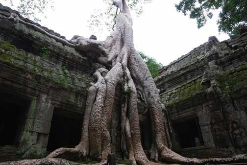 Ta Prohm tree roots