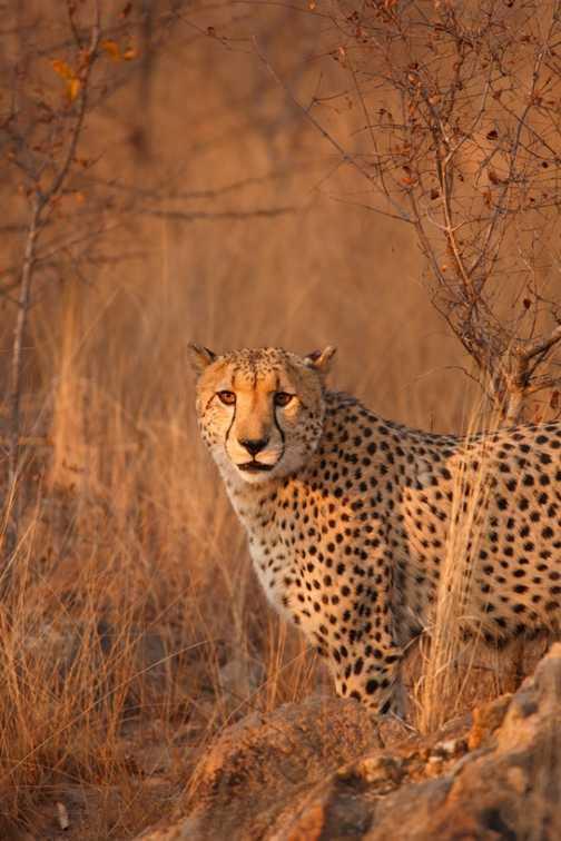 Lioness at Edeni