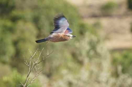 Rufous Roller take off