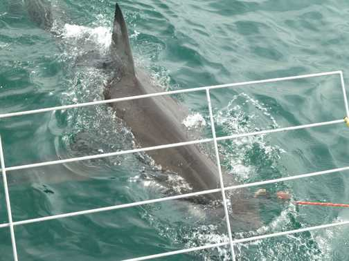 Shark cage diving!!