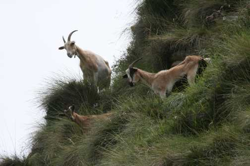 Goats - are they rolling rocks? :-)