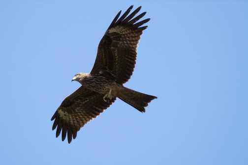 Eagle over Dharamsala