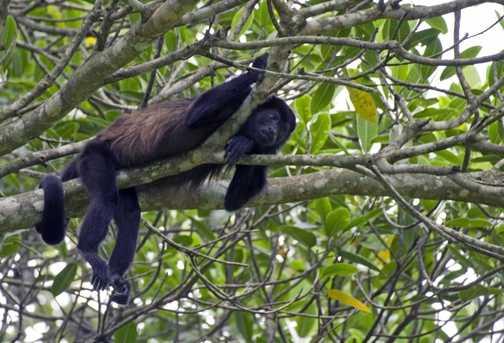 Brown howler monkey hanging around, takiing things easy. Pura vida.