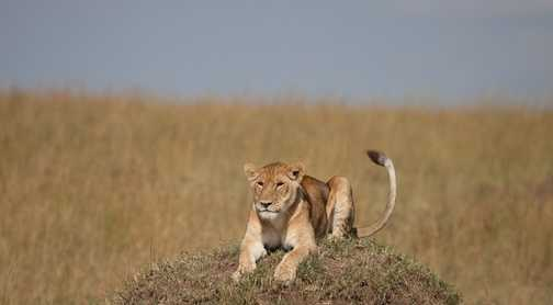 lion on hill