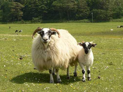 Sheep Mum and lamb