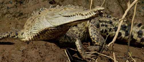 Crocodile, during boat trip Tarcoles River