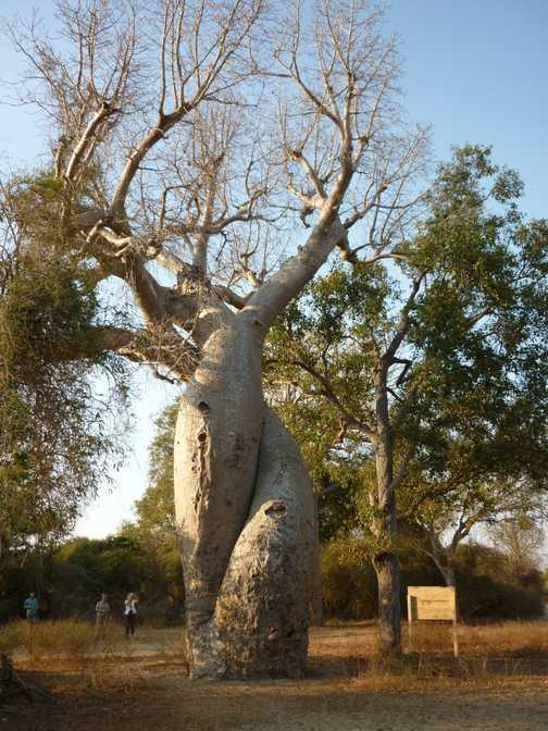 Les baobabs amoureux!