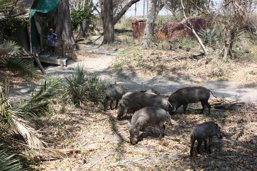 Getting close-up: warthogs - Okavango Delta