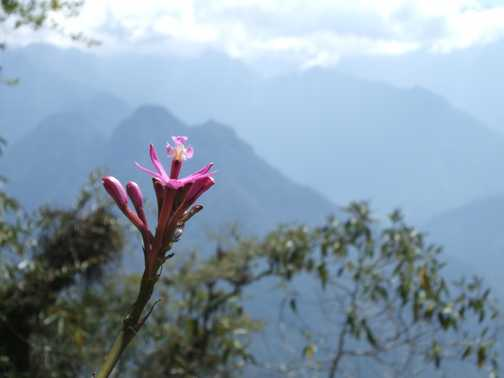 Mountain flower