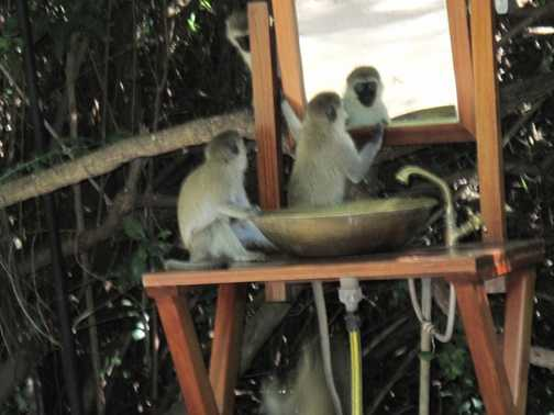 Monkeying about on the camp