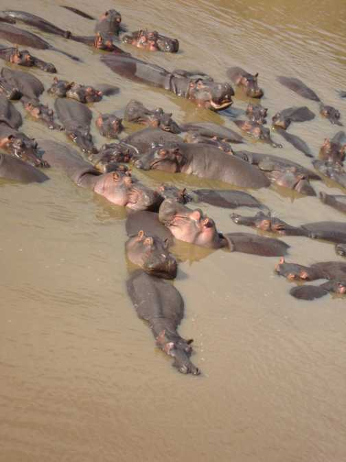 What do you call a group of Hippos?