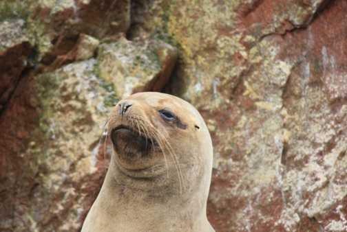 sea lion, Ballestas Isles