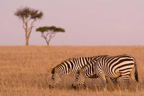 Zebra at dawn