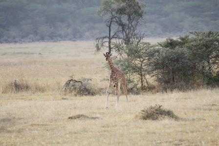 Bit wobbly -I need my mummy! Lake Nakuru NP