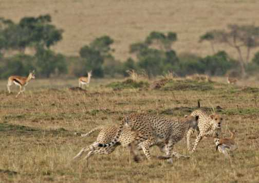 Cheetahs closing in for the kill