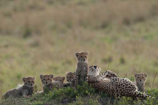 Cheetahs 3