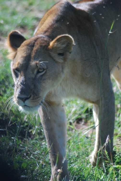 Mara lioness