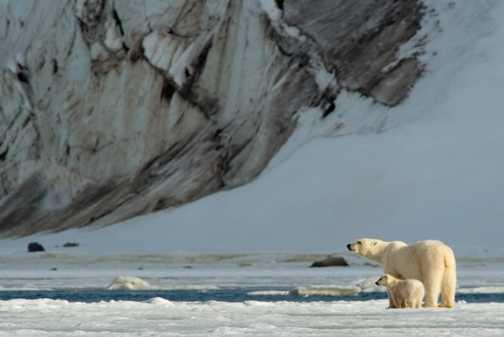 Polar Bears at Holmiabukta