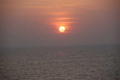Pariah Kite at Sunset