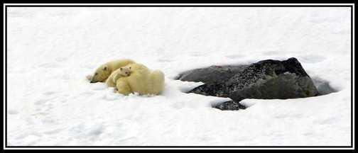Polar Bear & Cub 4