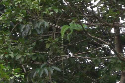Iguana (?) in the tress - very hard to spot!
