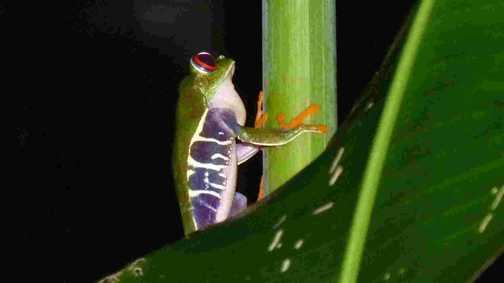 Tree Leaf Frog