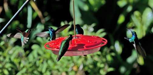 Hummingbirds at Savegre